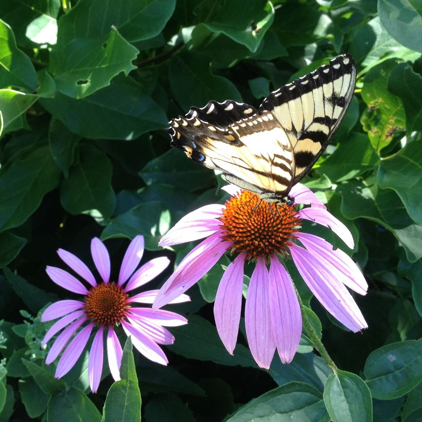 tiger swallowtail sitting on a coneflower