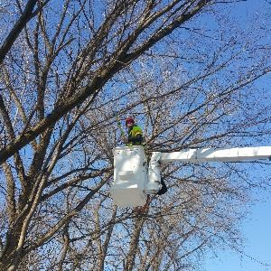 Winter tree pruning from bucket truck