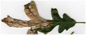 Leaf with Anthracnose
